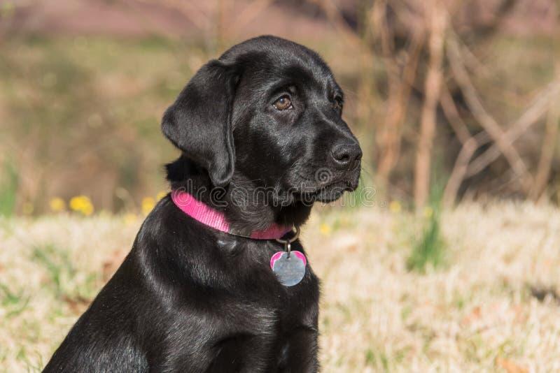 czarny labradora portreta szczeniak zdjęcie royalty free