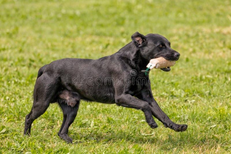 Czarny labradora psa bieg, Hanbury Ogólnokrajowy przedstawienie, Anglia fotografia stock