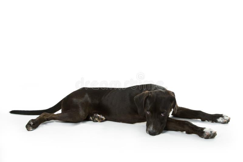 Czarny labradora szczeniak fotografia royalty free