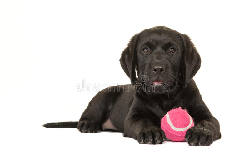 Czarny labradora szczeniak z piłką obraz stock
