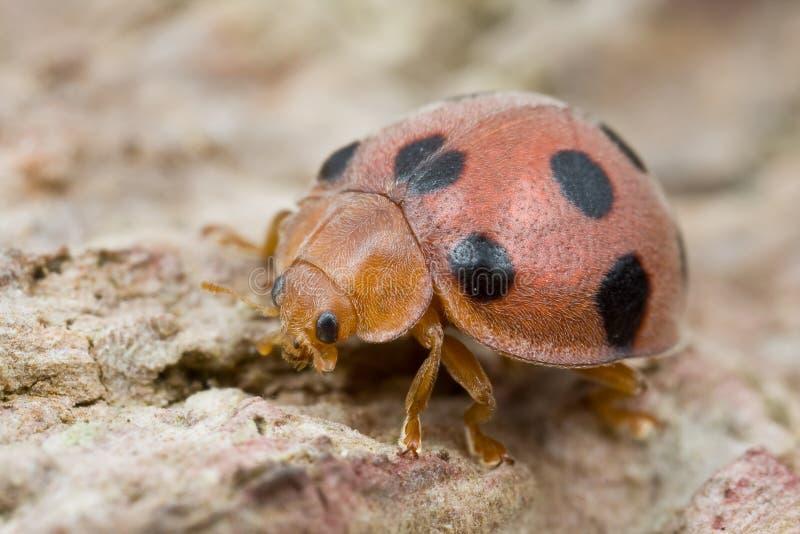 czarny ladybird czerwieni punkty obraz royalty free