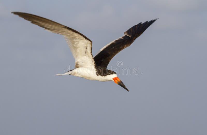 czarny latający Niger rynchops skimmer zdjęcie royalty free