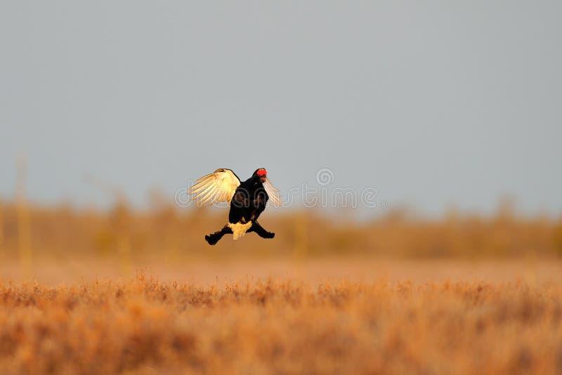 czarny latania pardwy tetrao tetrix fotografia stock