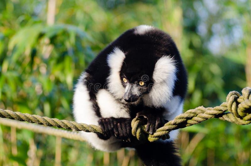czarny lemur ruffed white fotografia stock