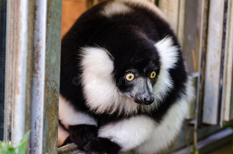czarny lemur ruffed white obrazy stock