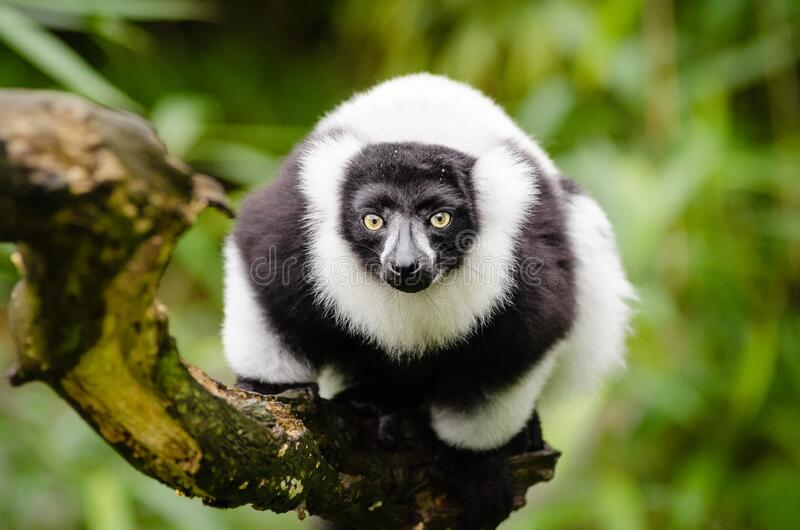 czarny lemur ruffed white obraz stock
