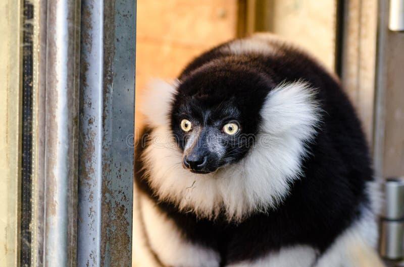 czarny lemur ruffed white obrazy royalty free