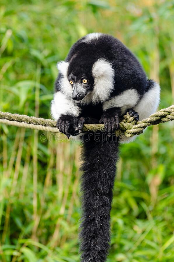 czarny lemur ruffed white zdjęcie stock