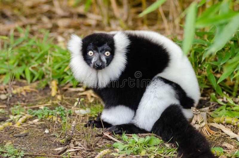 czarny lemur ruffed white zdjęcia stock