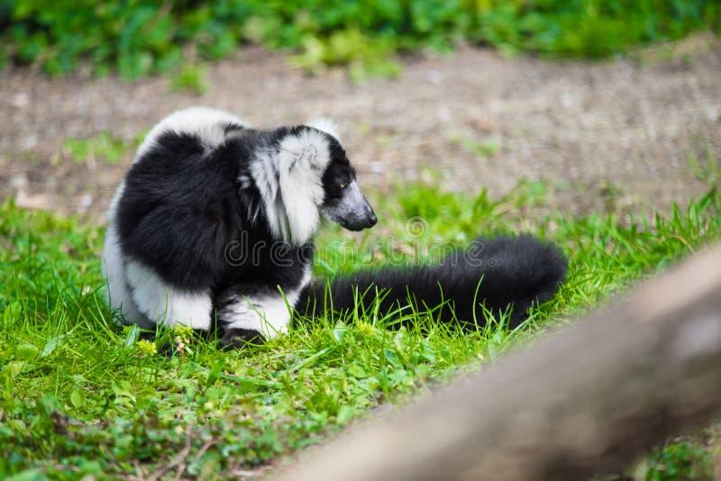 czarny lemur ruffed white obraz royalty free