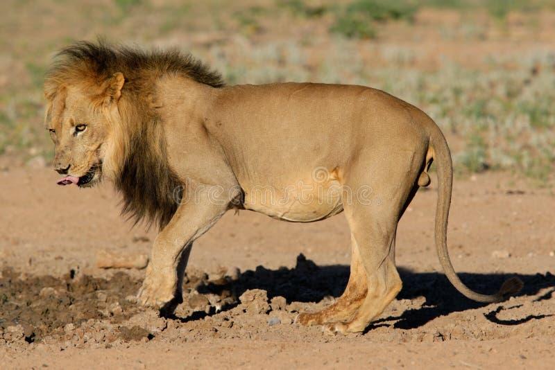 czarny lew grzywiasty afrykański obrazy royalty free