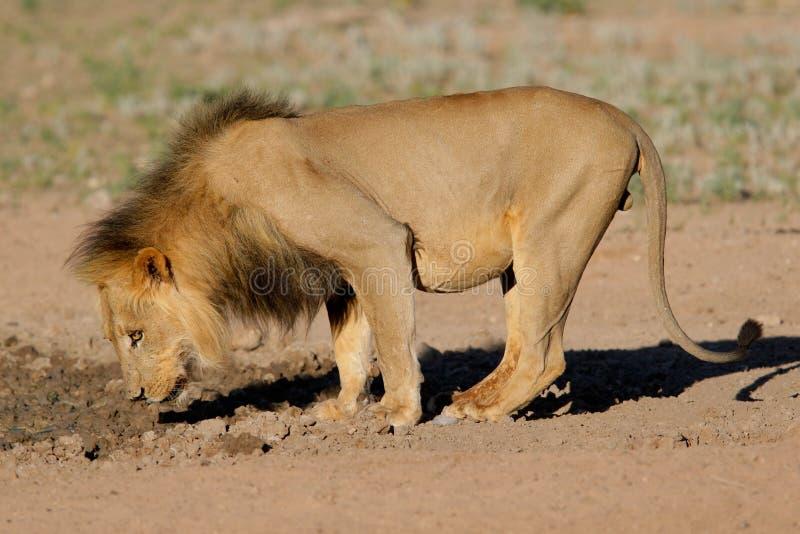 czarny lew grzywiasty afrykański obraz royalty free