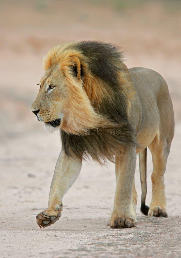 czarny lew grzywiasty afrykański fotografia royalty free
