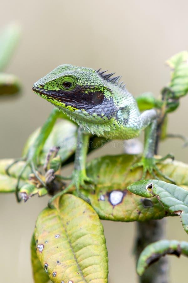 Czarny Lipped x28 &; Calotes Nigrilabris& x29; przy Horton równiien parkiem narodowym w Sri Lanka fotografia royalty free