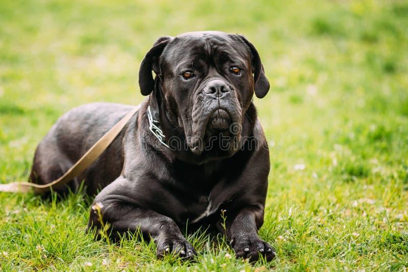 Czarny Młody trzciny Corso pies Siedzi Na Zielonej trawie Outdoors duży pies zdjęcia royalty free