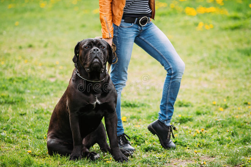 Czarny Młody trzciny Corso pies Siedzi Na Zielonej trawie Outdoors duży pies obrazy stock