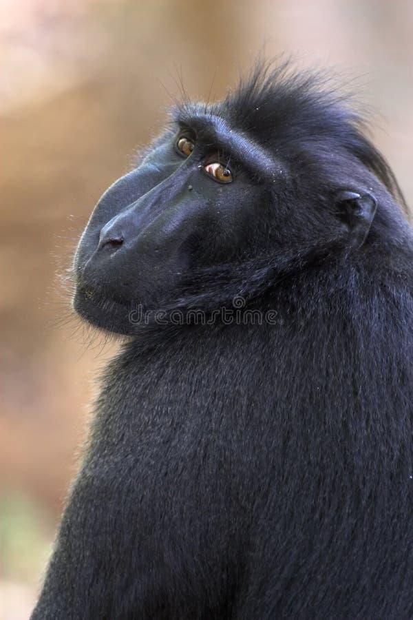 czarny makak obrazy stock
