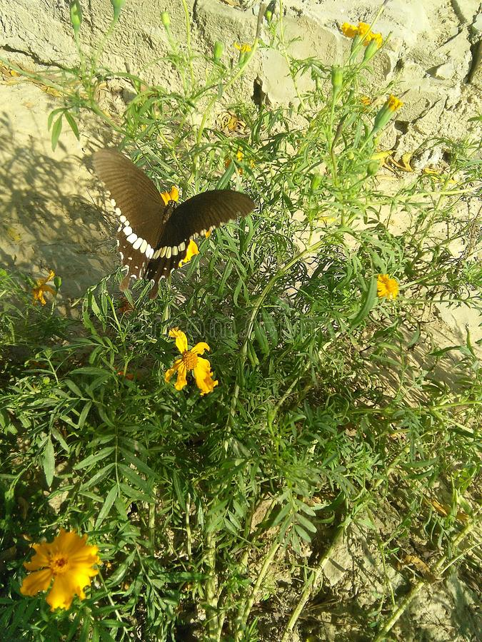 Czarny mariposa na nagietku fotografia stock