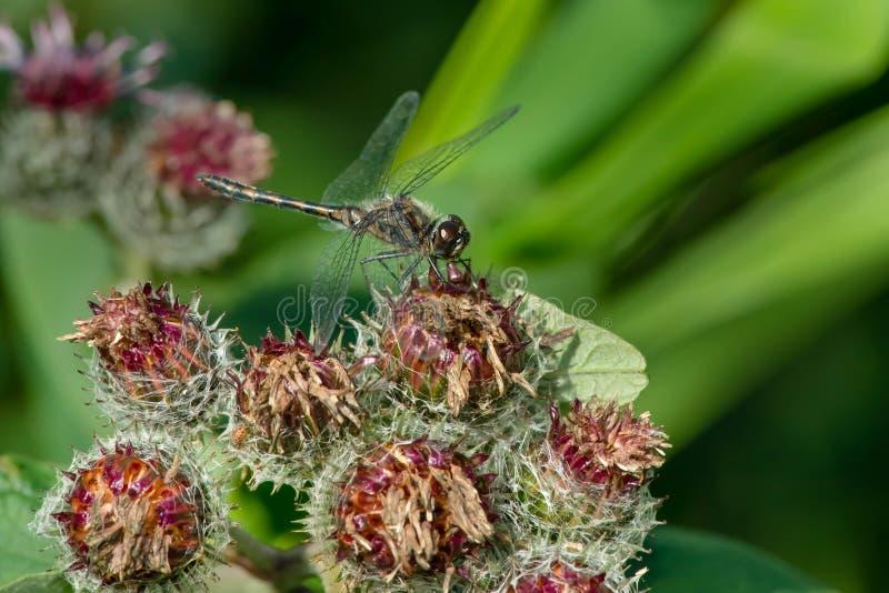 Czarny Meadowhawk Dragonfly - Sympetrum danae obrazy stock