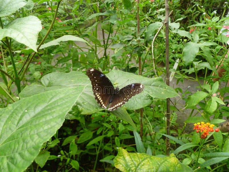 Czarny motyl na dużym liściu obraz royalty free