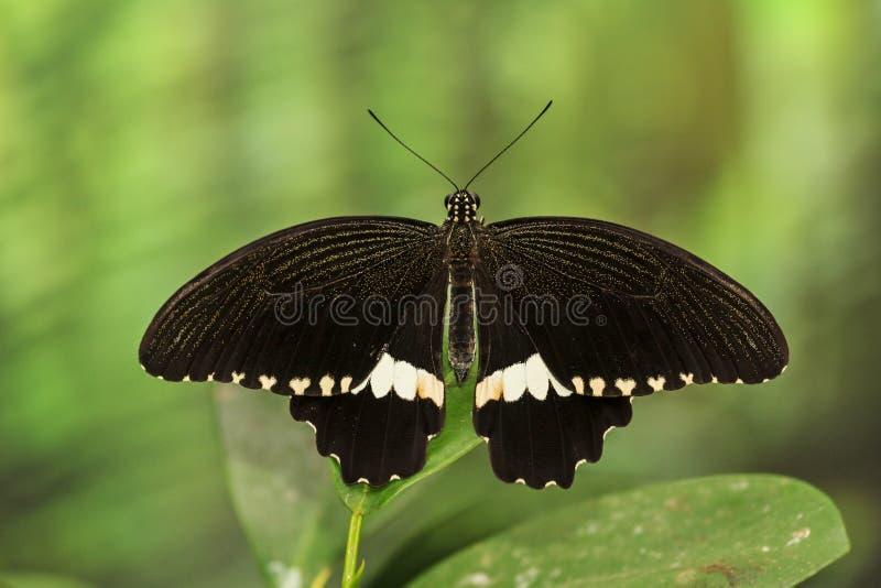 Czarny motyl z białym pasowym obsiadaniem na liściu obraz royalty free