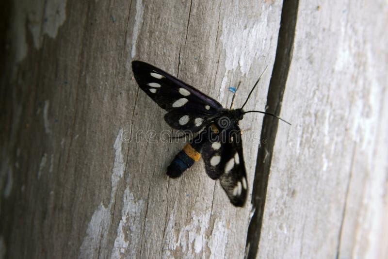 czarny motyla z bliska fotografia royalty free