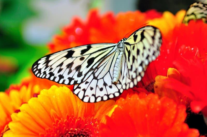 czarny motyli biel obrazy stock