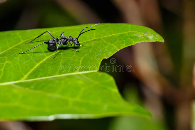 czarny mrówka liść zdjęcia stock