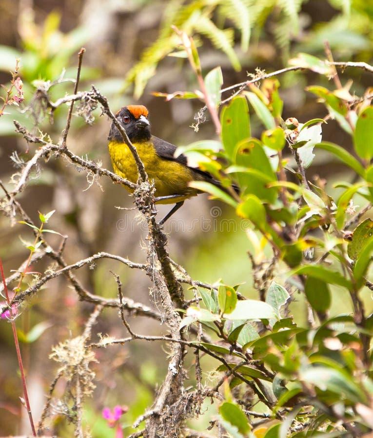 czarny muśnięcie stawiał czoło finch dżunglę fotografia royalty free