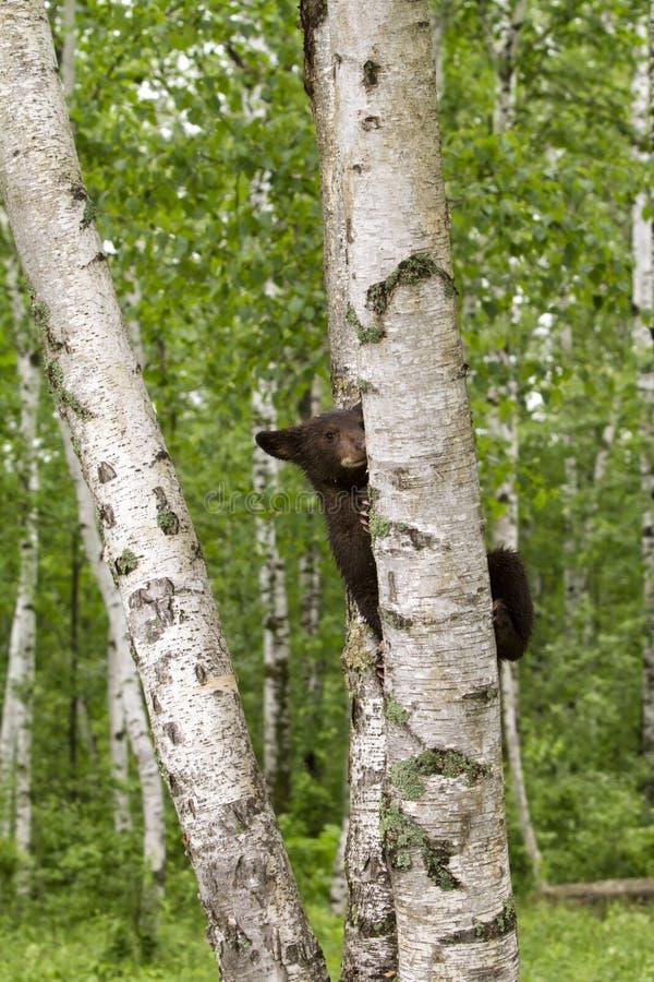 Czarny Niedźwiadkowego lisiątka brzozy Wspinaczkowy drzewo fotografia royalty free