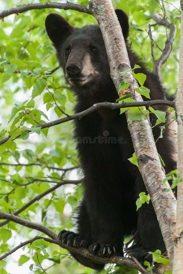 Czarny Niedźwiadkowy lisiątko fotografia stock