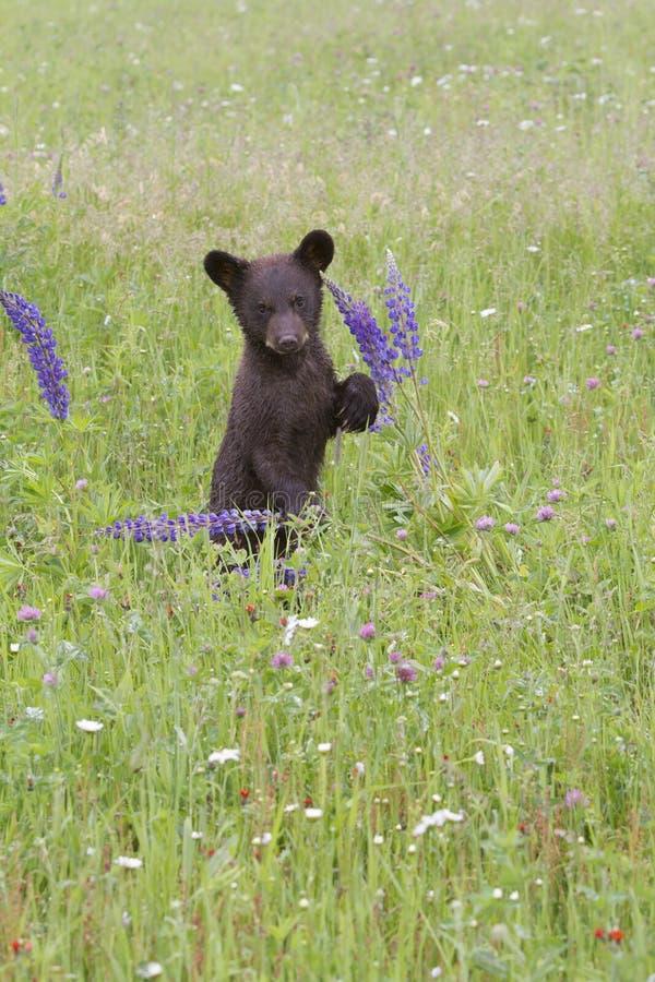 Czarny Niedźwiadkowy lisiątko Bawić się z Wildflowers zdjęcie royalty free