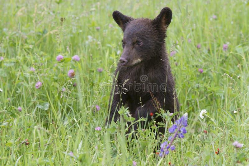 Czarny Niedźwiadkowy lisiątko w polu Wildflowers fotografia royalty free