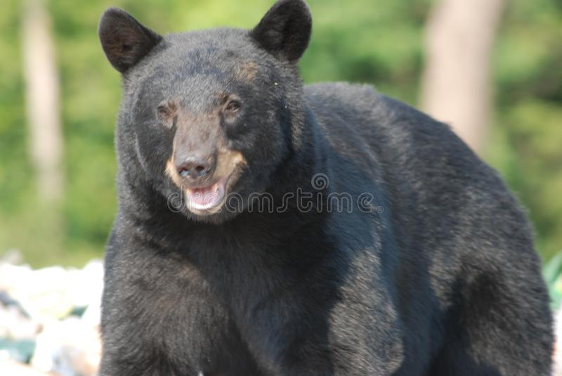 Czarny niedźwiedź na śmieciarskim usypie fotografia royalty free