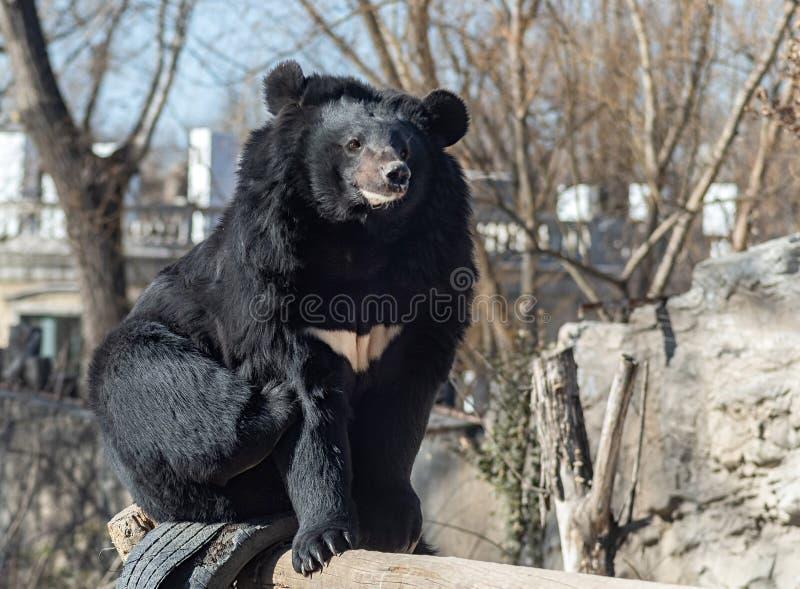 Czarny niedźwiedź siedzi na drewnianym bagażniku w Pekin zoo, Chiny fotografia royalty free