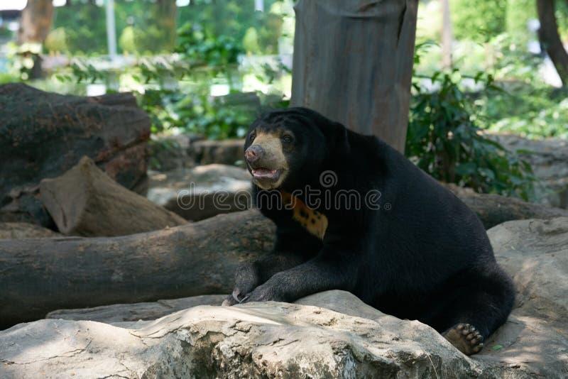 Czarny niedźwiedź siedzi usta na skale, opiera i otwiera fotografia royalty free