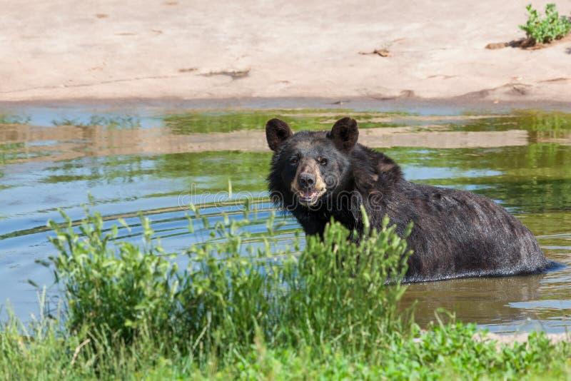 Czarny Niedźwiedź w Pondzie zdjęcia royalty free