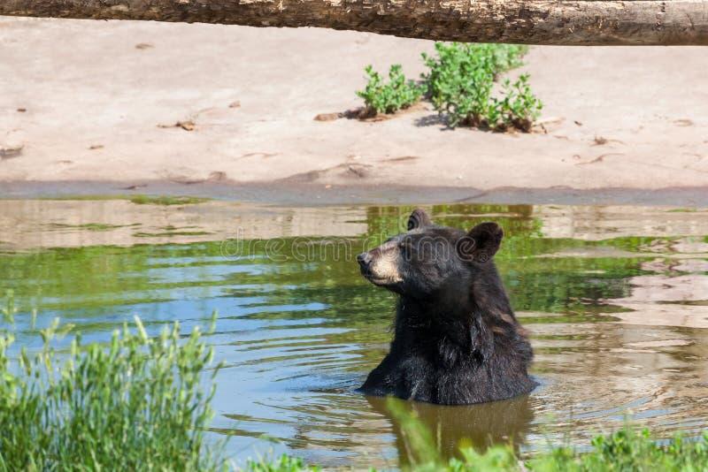 Czarny Niedźwiedź w Pondzie obrazy stock