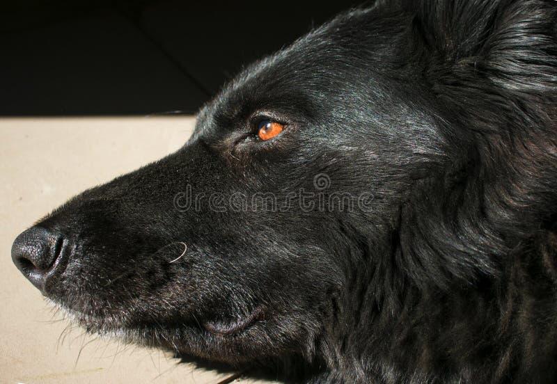 Czarny niemiecki pasterskiego psa zakończenie obrazy royalty free