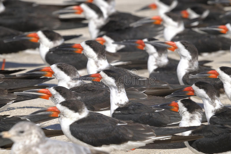 czarny Niger rynchops skimmer zdjęcie stock