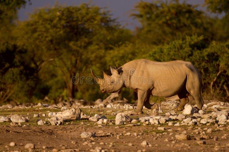czarny nosorożec zdjęcia stock
