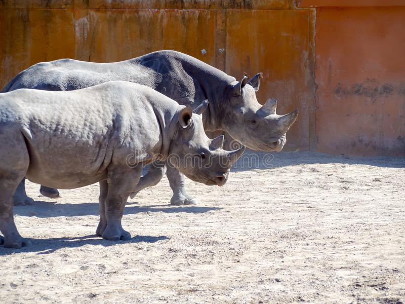 czarny nosoro?ec zoo fotografia stock