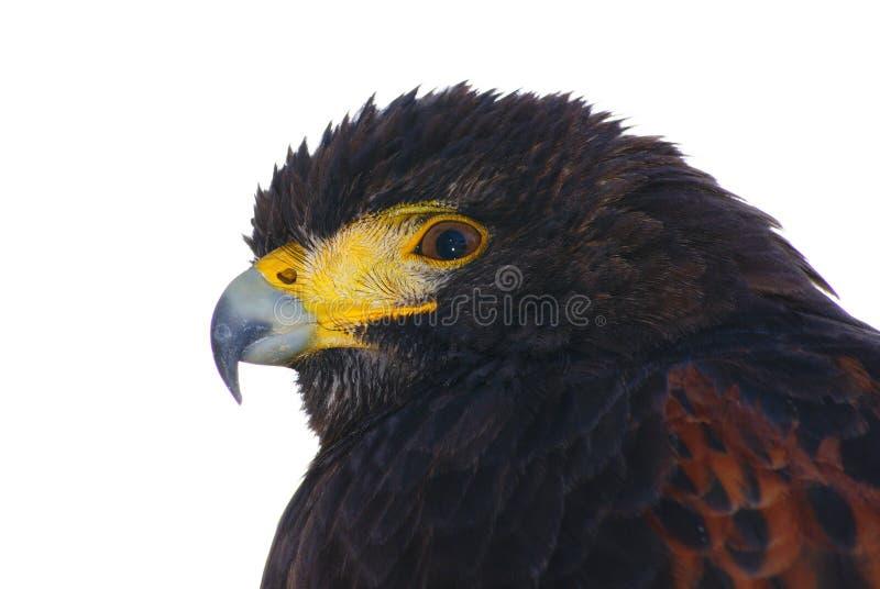 Download Czarny orzeł zdjęcie stock. Obraz złożonej z ptak, ostrzy - 13328250