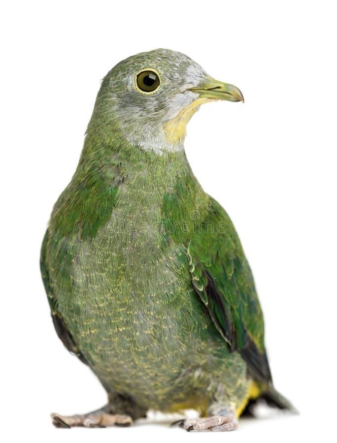 Czarny Owocowa Gołąbka, Ptilinopus melanospilus obraz royalty free