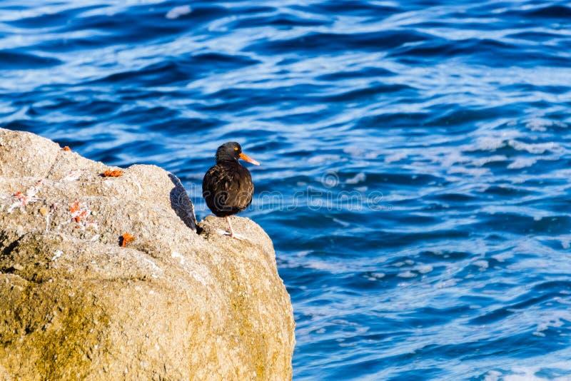 Czarny Oystercatcher na skale, ocean spokojny na tle, Pacyficzny gaj, Monterey podpalany teren, Kalifornia obrazy royalty free