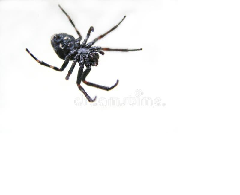 Download Czarny pająk obraz stock. Obraz złożonej z szczegółowy, świąd - 46295