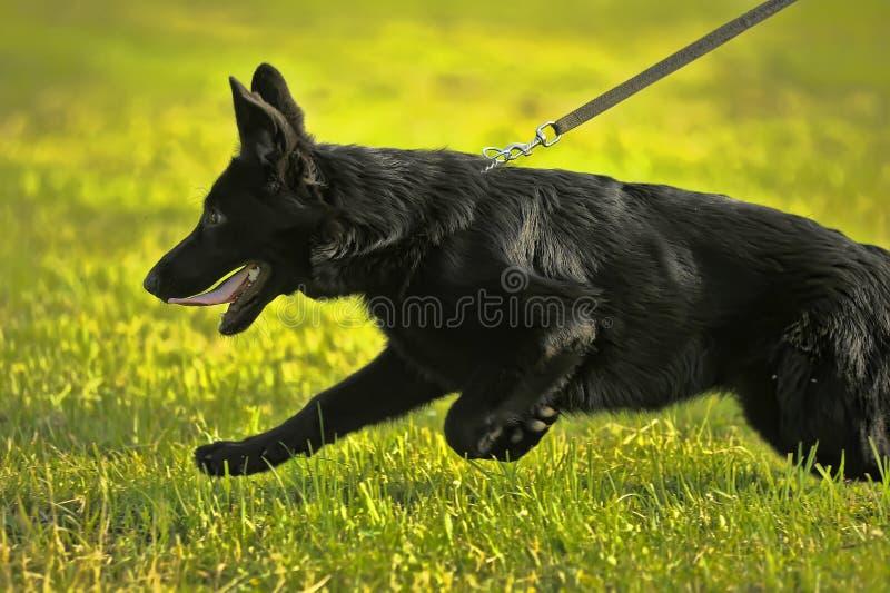 Czarny Pasterski szczeniak na smyczu zdjęcie royalty free
