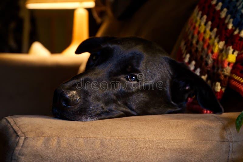 Czarny Pasterskiego psa dosypianie na leżance zdjęcia stock