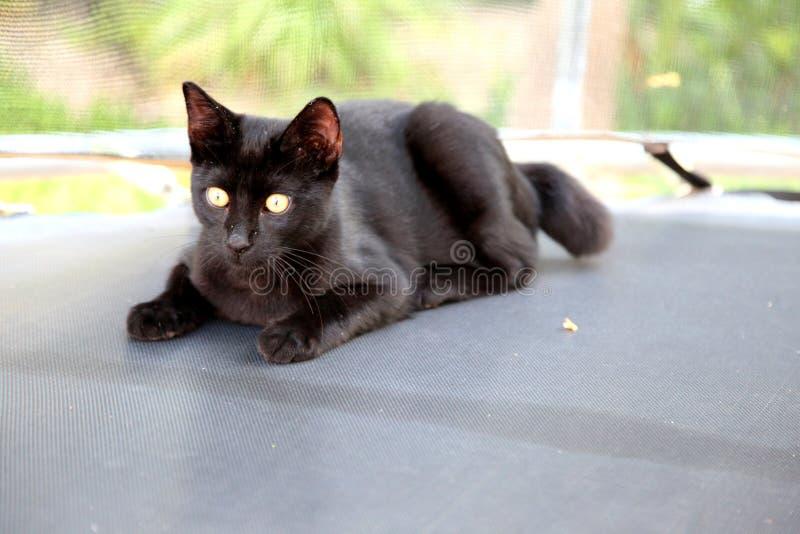 Czarny piękny kot z złotymi oczami fotografia royalty free