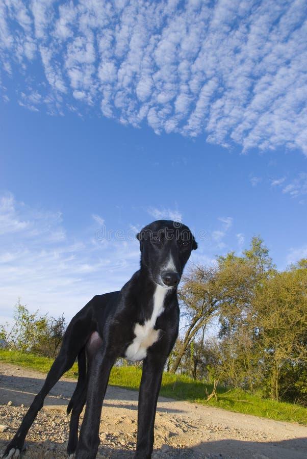 czarny pies obrazy stock